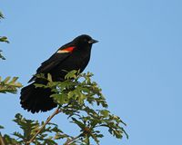 Male Red-winged Blackbird Royalty Free Stock Images