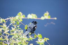 Male Red-winged Blackbird. At Point Pelee National Park Stock Image