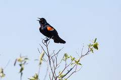 Male Red-winged Blackbird. At Point Pelee National Park Stock Images