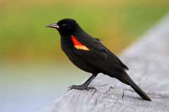 Male Red-winged Blackbird. (Agelaius phoeniceus) perched Royalty Free Stock Image