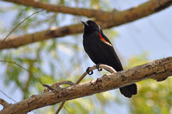 Male Red-Winged Blackbird. Resting on tree branches with blue sky background Royalty Free Stock Image