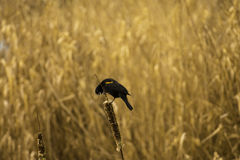 Male Red winged Blackbird Stock Images
