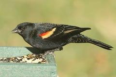 Male Red-winged Blackbird Agelaius phoeniceus Royalty Free Stock Image