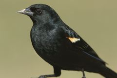 Male Red-winged Blackbird (Agelaius phoeniceus) Royalty Free Stock Images