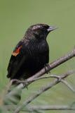 Male Red-winged Blackbird Agelaius phoeniceus Royalty Free Stock Photos