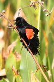 Male Red-winged Blackbird. (Agelaius phoeniceus) perched Stock Photo