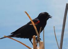 Male Red-Winged Blackbird or Agelaius Phoeniceus Royalty Free Stock Photography