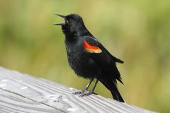 Male Red-winged Blackbird Stock Photos