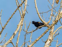 Male Red-Winged Blackbird with Blue Sky Background. This red-winged blackbird, perched in the bare branches of a tree at Barr Lake State Park, is calling out to Royalty Free Stock Image