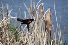 Male red winged blackbird. Red winged blackbird on bull Royalty Free Stock Images