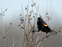 Male red-winged blackbird calling in a bush Stock Photo