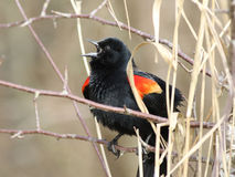 Male Red-winged Blackbird Calling Stock Images