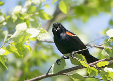 Male Red-Winged blackbird calls out Royalty Free Stock Image