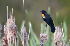 Male Red-winged Blackbird in a cat-tail. Male Red-winged Blackbird balances on a cat-tail Royalty Free Stock Photo