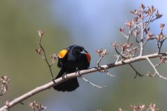 Male Red-winged Blackbird displaying its wing epaulets. Male Red-winged Blackbird Agelaius phoeniceus displaying its wing epaulets - Lambton Shores, Ontario Stock Images