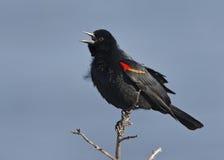 Male Red-winged Blackbird - Florida Stock Photo