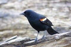 Male Red Winged Blackbird on Log Stock Photos
