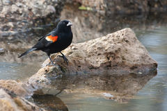 Male Red-winged Blackbird in the marsh Stock Photography