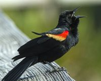 Male Red-winged Blackbird royalty free stock image
