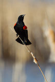 Male Red-winged Blackbird. Perched on cattails Stock Photos