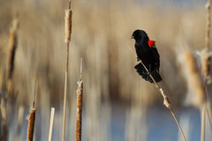 Male Red-winged Blackbird. Perched on cattails Royalty Free Stock Photos
