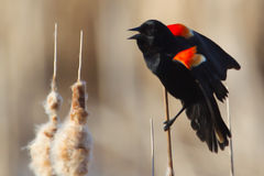 Male Red-winged Blackbird. Perched on cattails Royalty Free Stock Images