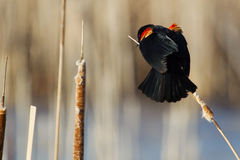 Male Red-winged Blackbird. Perched on cattails Royalty Free Stock Image