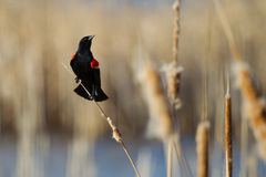 Male Red-winged Blackbird. Perched on cattails Stock Photo
