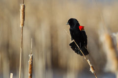 Male Red-winged Blackbird. Perched on cattails Royalty Free Stock Photography