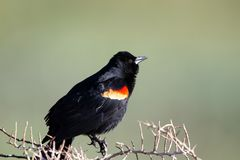 Male Red-winged Blackbird perches on a scrubby bush in spring in Alamosa National Wildlife Refuge in southern Colorado. CLoseup of an adult male Red-winged Royalty Free Stock Image