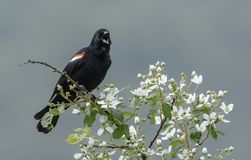 Male Red-winged Blackbird Stock Image