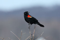 Male red-winged blackbird standing on a branch. One male red-winged blackbird standing on a branch Stock Image