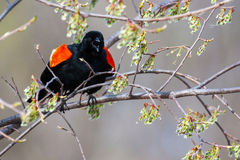 Male Red-winged Blackbird in a tree. Male Red-winged Blackbird mad in a tree Royalty Free Stock Photos
