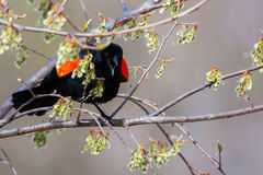 Male Red-winged Blackbird in a tree in soft focus. Male Red-winged Blackbird mad in a tree in soft focus Stock Images