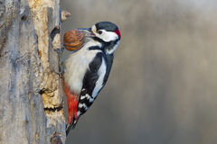 Male Red woodpecker Stock Photo
