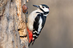 Male Red woodpecker Stock Images