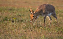 Male Reddbuck at Sunset royalty free stock image