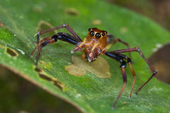 male, reddish jumping spider Royalty Free Stock Images