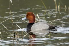 Male redhead duck Aythya americana . Royalty Free Stock Image