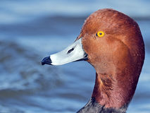 Male Redhead Duck Close-up royalty free stock image