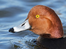 Male Redhead Duck Close-up Stock Images