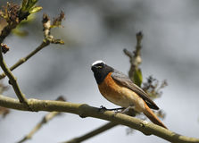 Male Redstart Royalty Free Stock Images