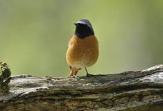 Male Redstart Stock Image