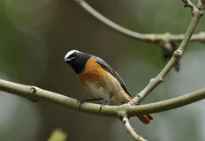Male Redstart Stock Photos