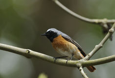 Male Redstart Royalty Free Stock Photography