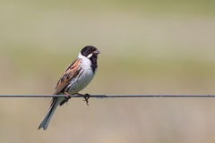 Male Reed Bunting (Emberiza schoeniclus) Royalty Free Stock Photos