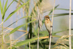 Male Reed Bunting Stock Photography
