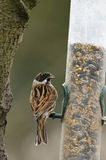 Male Reed Bunting on feeder Royalty Free Stock Photos