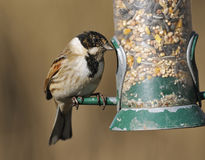 Male Reed Bunting Royalty Free Stock Photo