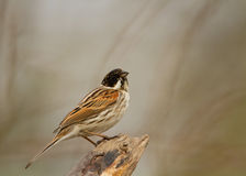 Male reed bunting on the perch Stock Photography